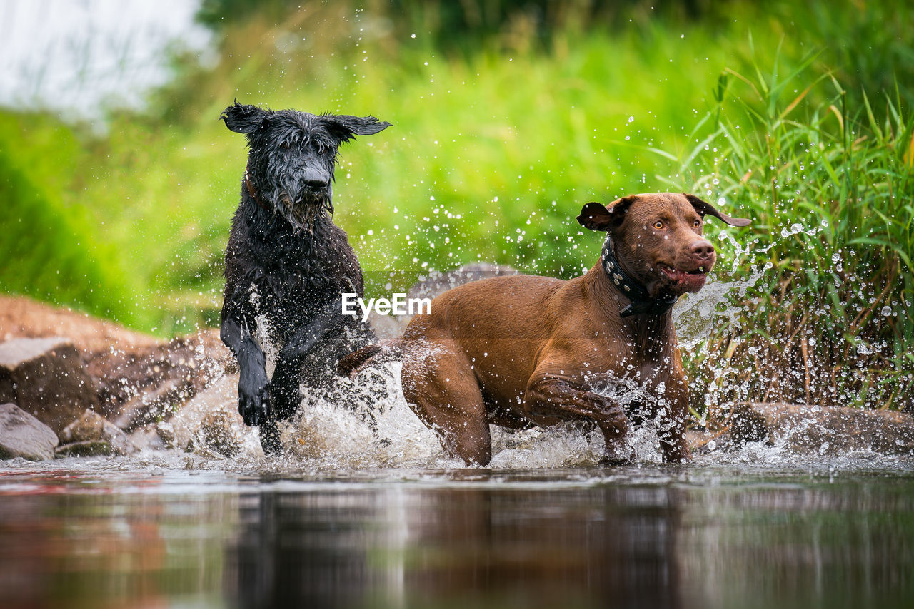 mammal, animal themes, canine, dog, pets, animal, domestic, domestic animals, group of animals, water, vertebrate, two animals, running, splashing, motion, no people, day, nature, outdoors, mouth open