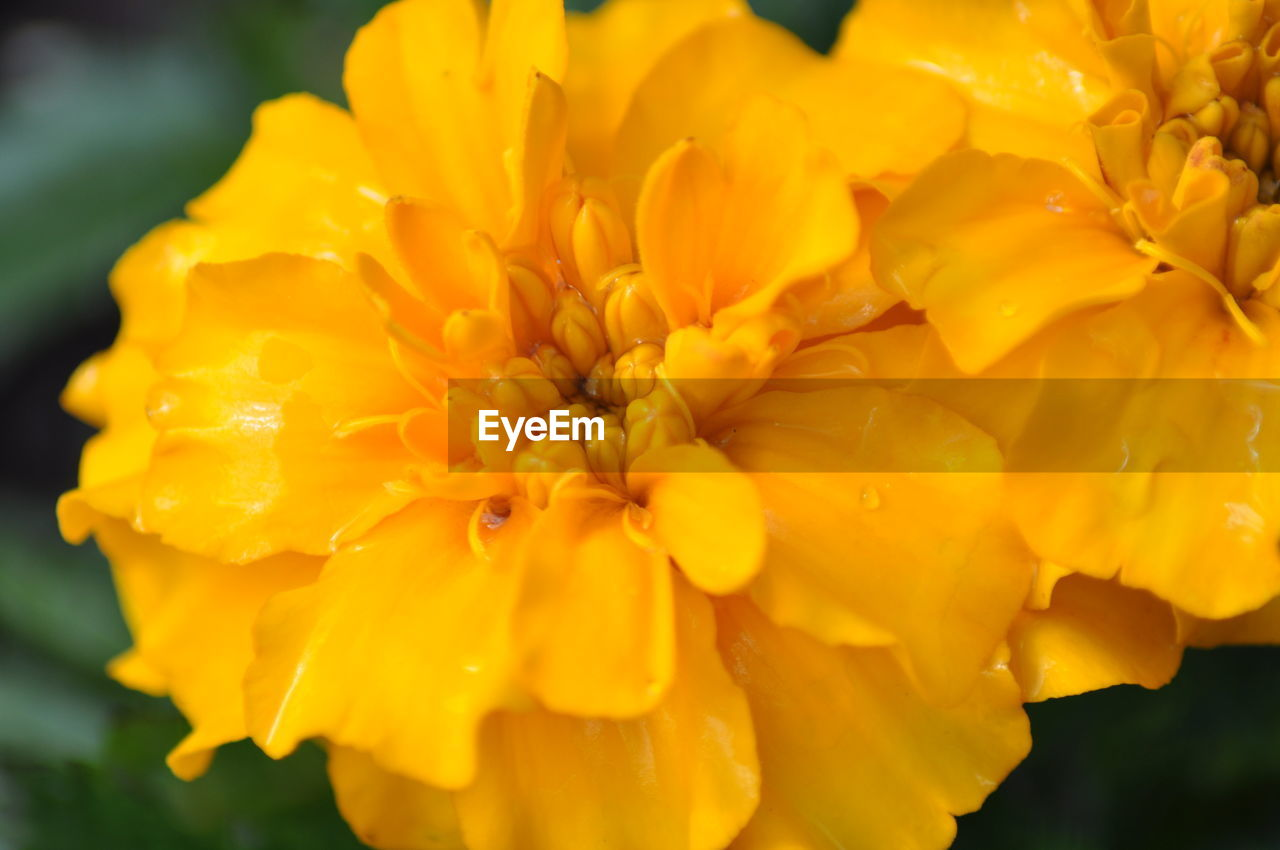 flower, petal, beauty in nature, fragility, freshness, nature, flower head, yellow, close-up, outdoors, drop, focus on foreground, blooming, no people, growth, plant, day, water