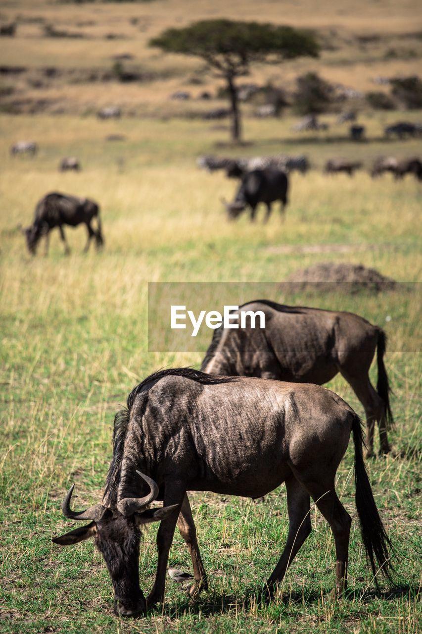 Wildebeests grazing on grassy field