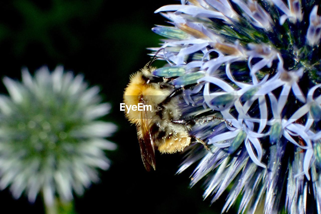 animal themes, insect, animals in the wild, flower, bee, one animal, nature, growth, honey bee, wildlife, beauty in nature, pollination, animal wildlife, no people, outdoors, close-up, plant, day, bumblebee, flower head, fragility, freshness, buzzing