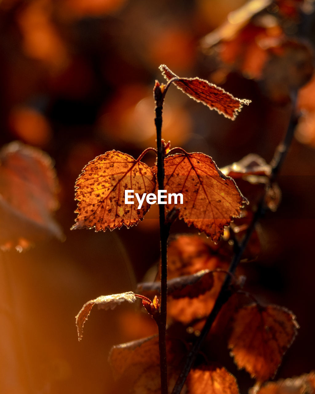 leaf, plant part, close-up, autumn, plant, change, focus on foreground, no people, nature, beauty in nature, dry, day, selective focus, vulnerability, leaves, fragility, outdoors, growth, orange color, brown, natural condition, dried