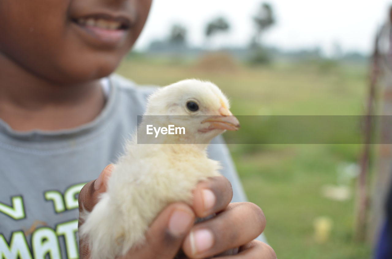 Cropped Image Of Boy Holding Baby Chicken