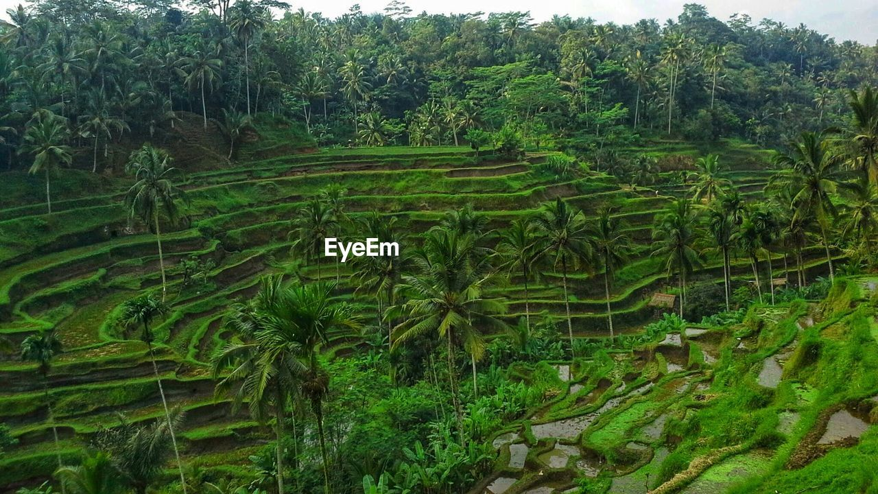 agriculture, growth, nature, rice paddy, field, farm, green color, landscape, rice - cereal plant, terraced field, crop, outdoors, beauty in nature, rural scene, lush foliage, no people, banana tree, tree, day, scenics, tranquil scene, plant, tranquility, mountain