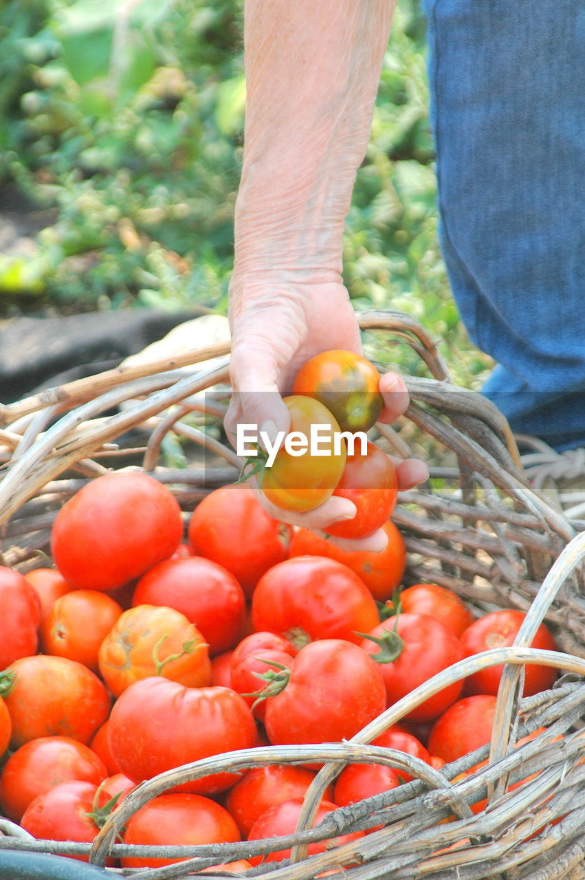food and drink, agriculture, one person, vegetable, freshness, healthy eating, food, harvesting, basket, human hand, human body part, day, wellbeing, hand, holding, container, organic, fruit, plant, outdoors, farmer, ripe, gardening