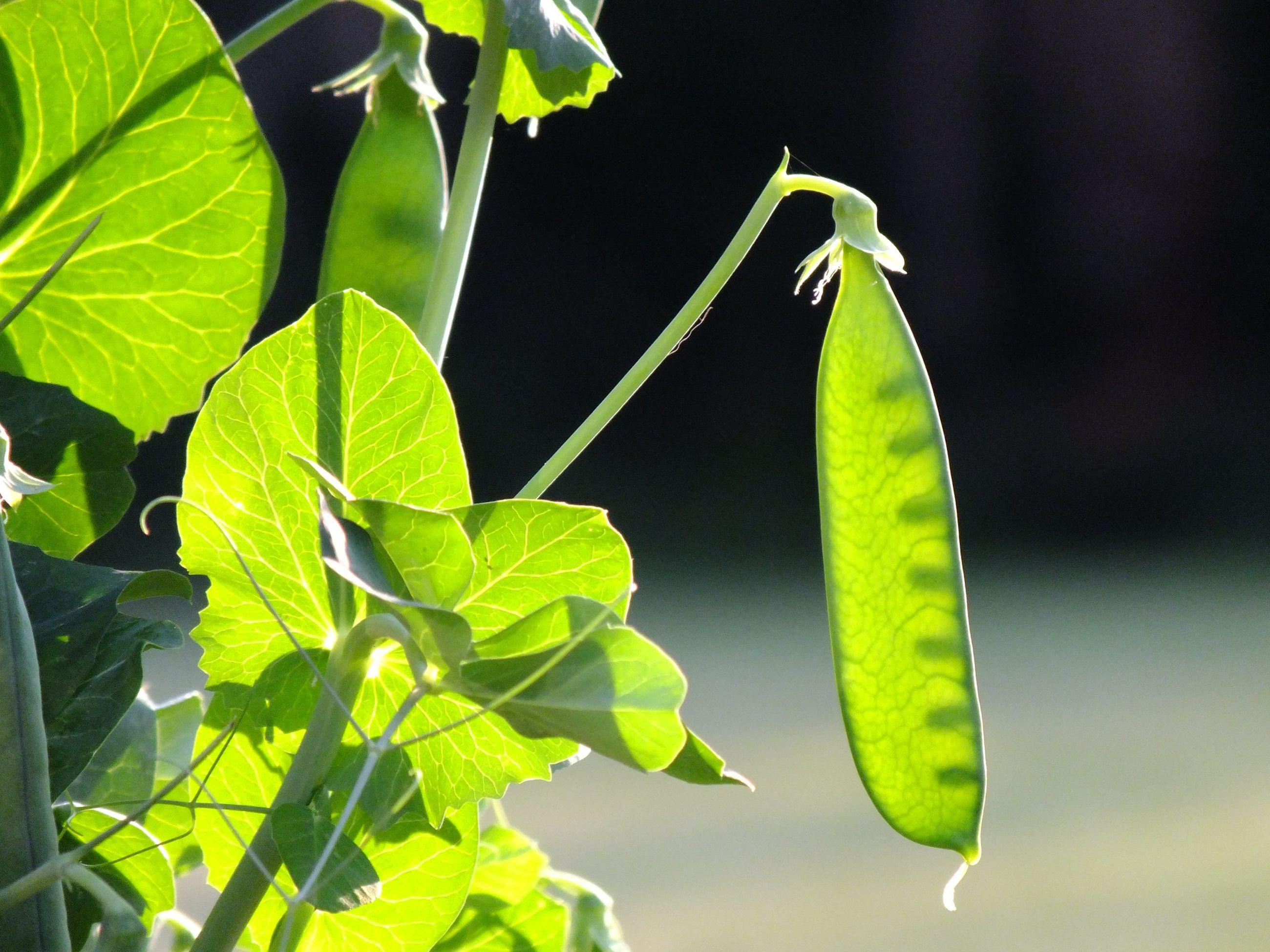 Peas in a pod close up