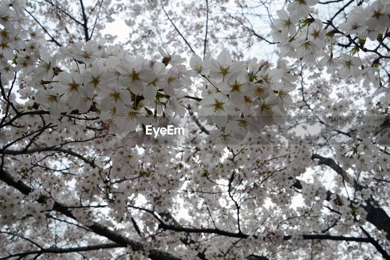 flower, blossom, tree, cherry blossom, branch, apple blossom, nature, white color, fragility, growth, apple tree, springtime, cherry tree, orchard, beauty in nature, freshness, botany, white, spring, twig, blooming, low angle view, no people, outdoors, flower head, day
