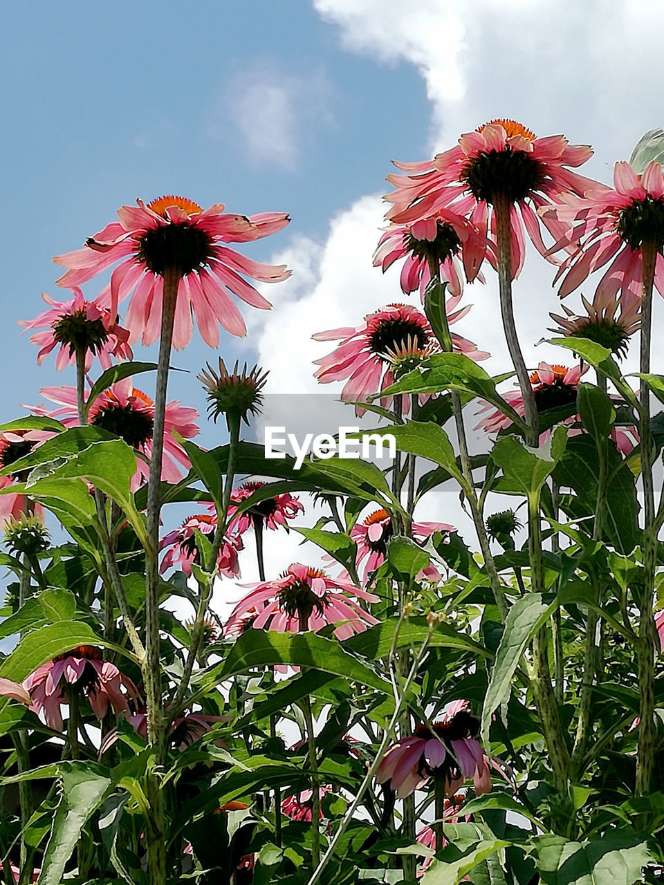 Towards The Light Beauty In Nature Close-up Cloud - Sky Day Flower Flower Head Flowering Plant Fragility Freshness Growth Low Angle View Nature No People Outdoors Petal Pink Color Summer