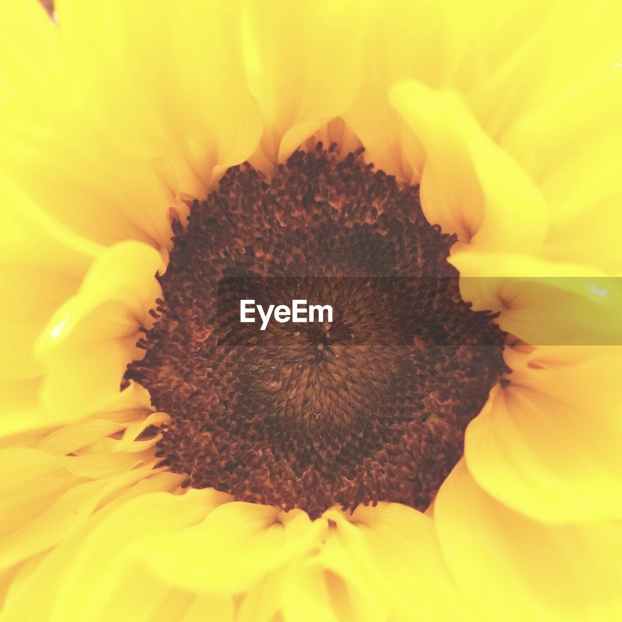 flower, petal, fragility, flower head, nature, freshness, beauty in nature, pollen, close-up, yellow, full frame, sunflower, backgrounds, growth, no people, plant, blooming, outdoors, day