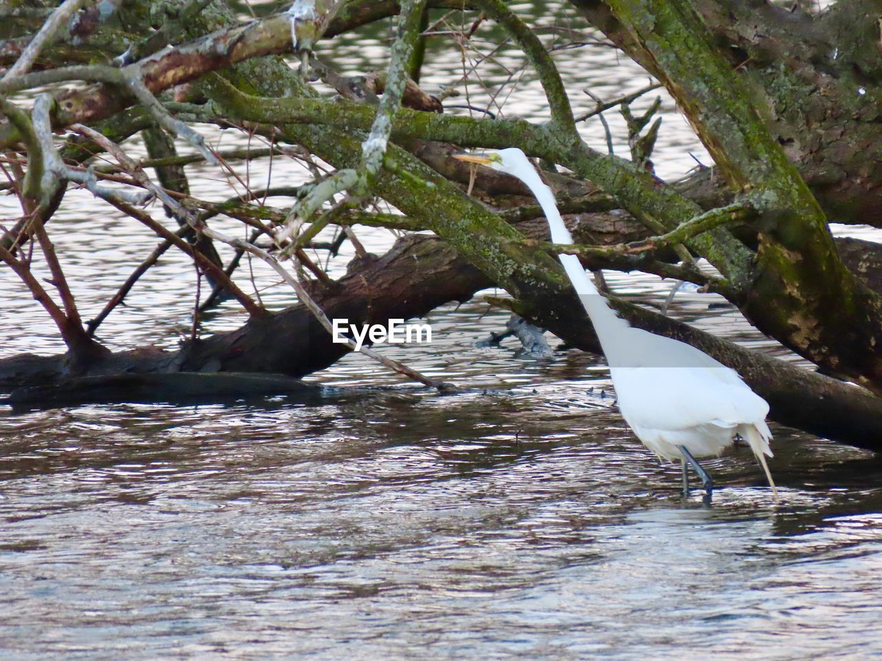 animal themes, animal, water, animals in the wild, animal wildlife, bird, vertebrate, one animal, day, no people, lake, waterfront, nature, white color, tree, egret, outdoors, beauty in nature, plant