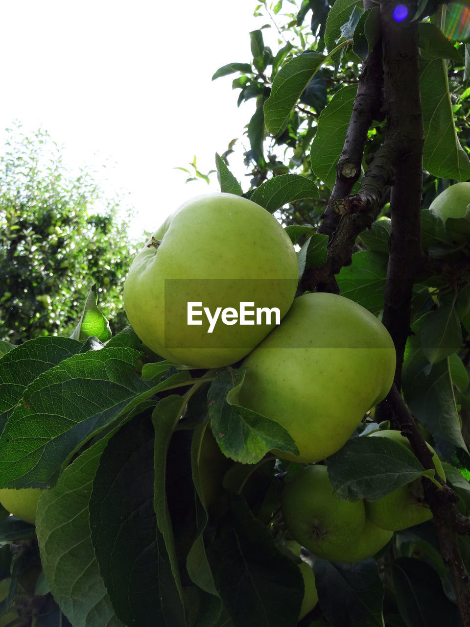 fruit, food and drink, healthy eating, green color, freshness, food, growth, plant, tree, wellbeing, leaf, plant part, no people, close-up, nature, day, beauty in nature, fruit tree, outdoors, focus on foreground, apple