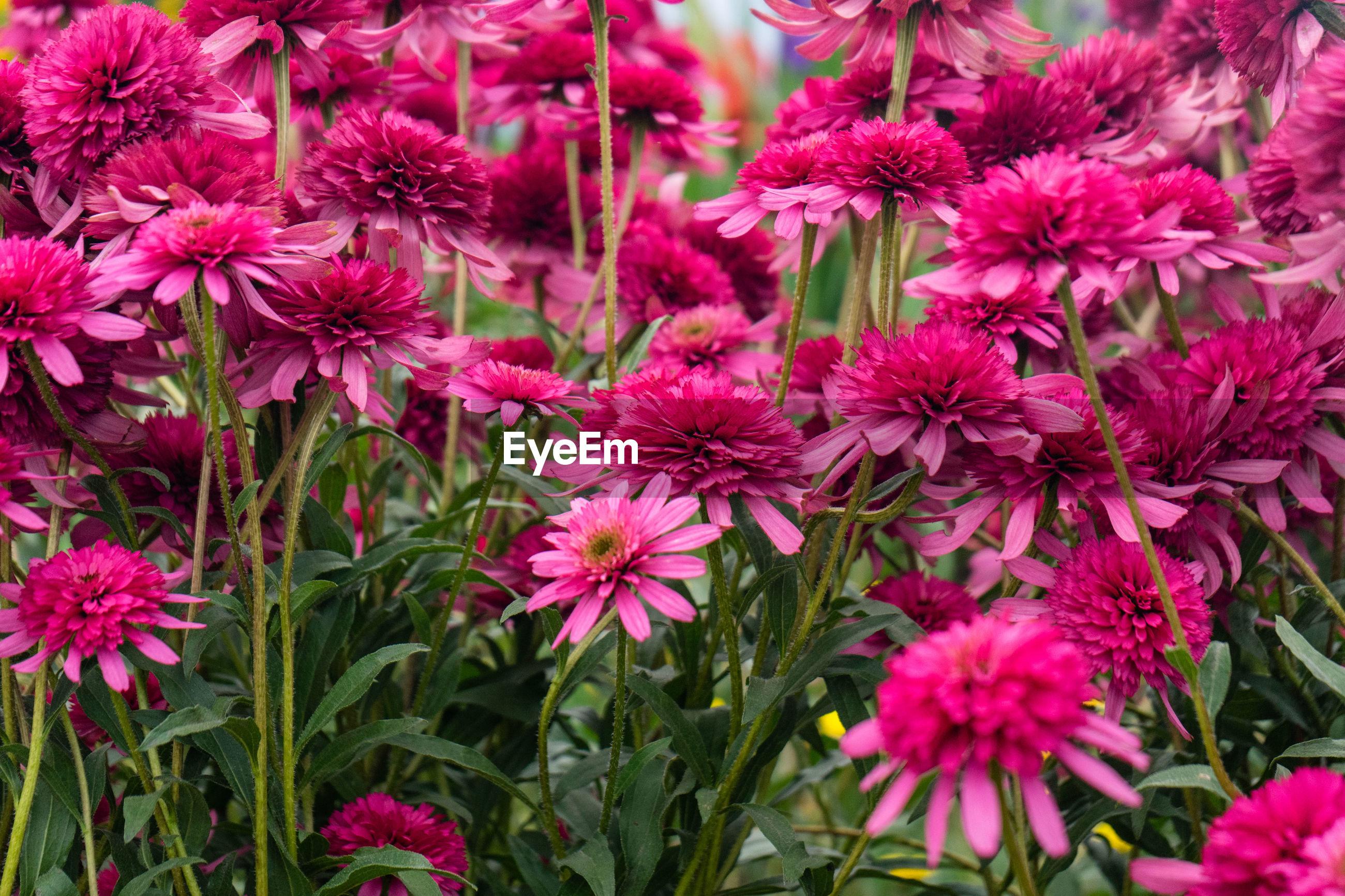 FULL FRAME OF PINK FLOWERS