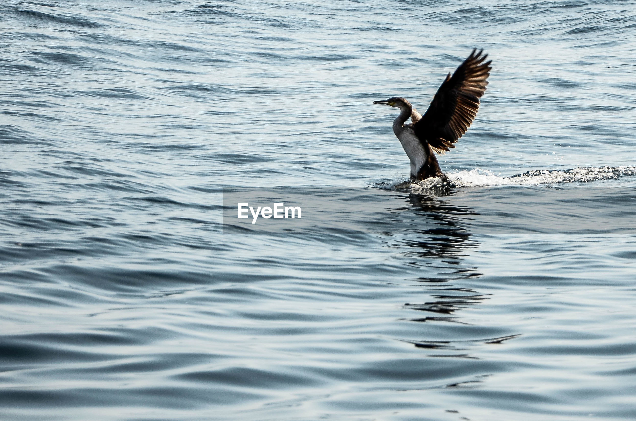 Cormorant landing in lake