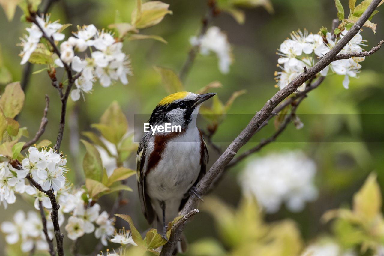 plant, animal themes, animal wildlife, one animal, animals in the wild, bird, vertebrate, animal, perching, tree, focus on foreground, branch, growth, no people, nature, close-up, beauty in nature, flower, flowering plant, day, outdoors