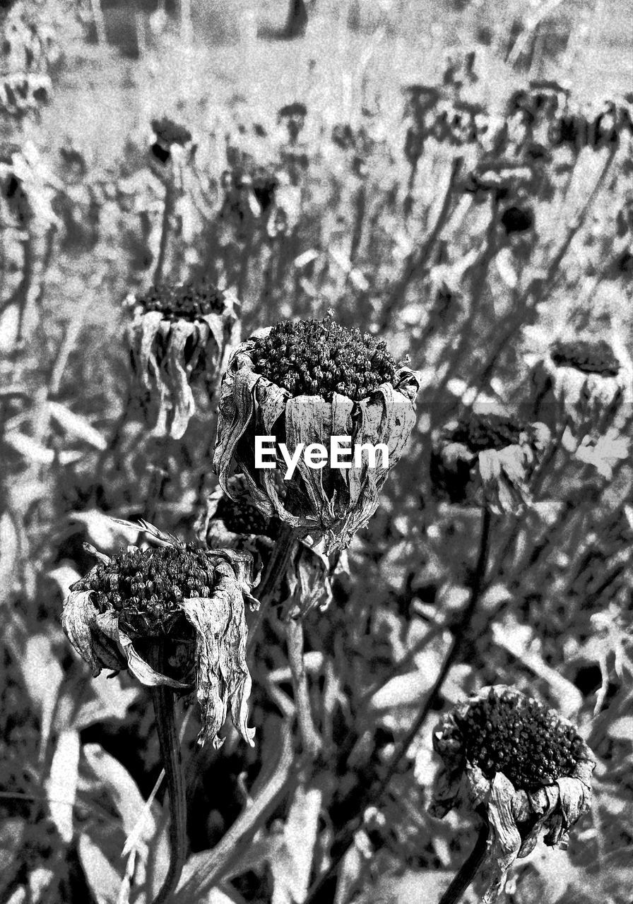 nature, focus on foreground, no people, plant, day, close-up, outdoors, growth, fragility, flower, beauty in nature, dried plant, thistle, wilted plant, animal themes, flower head