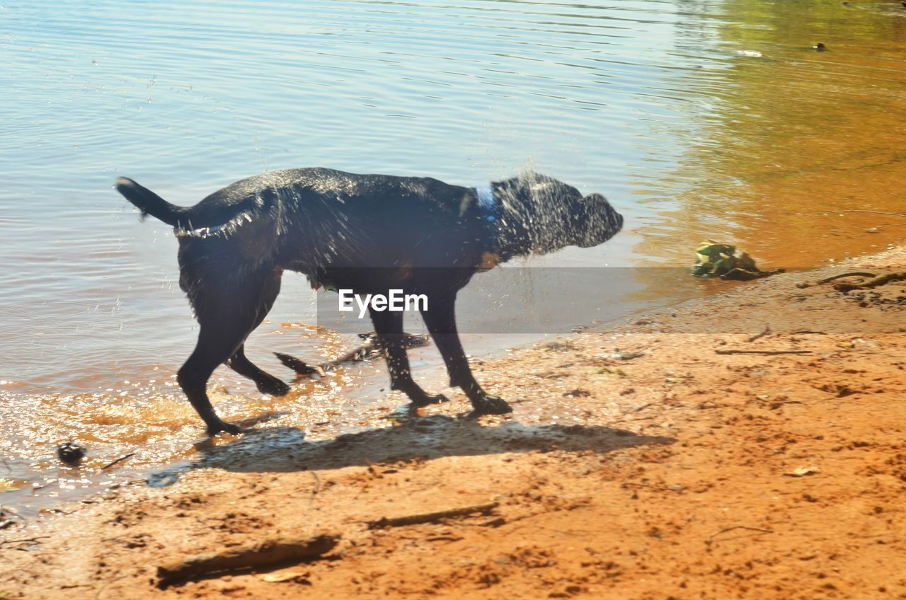 water, animal, animal themes, mammal, one animal, domestic animals, vertebrate, domestic, pets, nature, no people, canine, land, dog, day, beach, black color, standing, full length, herbivorous