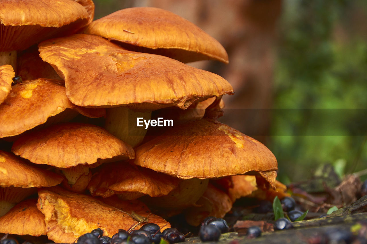 food, close-up, no people, mushroom, fungus, food and drink, freshness, focus on foreground, brown, toadstool, day, vegetable, nature, plant, healthy eating, selective focus, outdoors, growth, wellbeing, edible mushroom