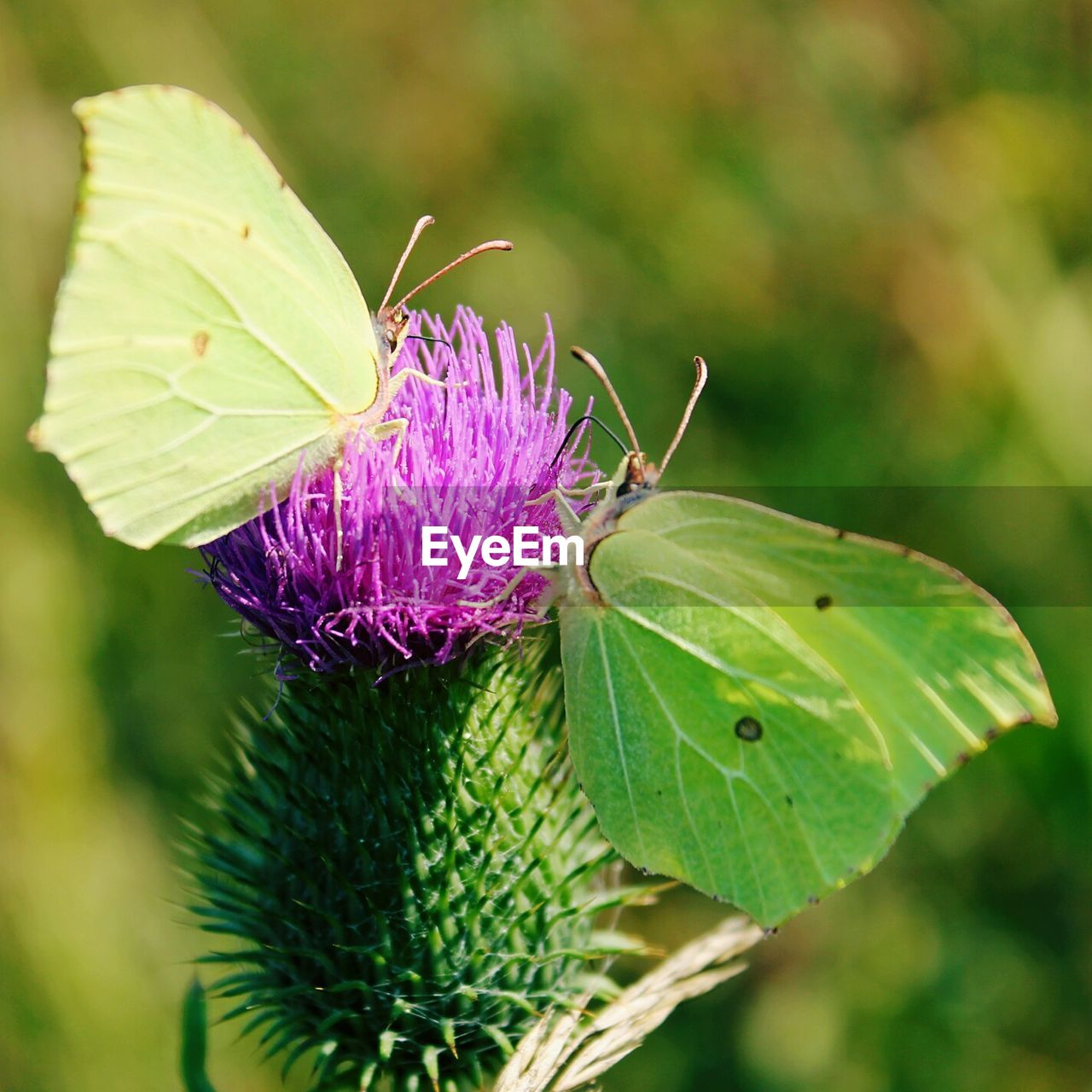 Close-up of butterflies on thistle at field