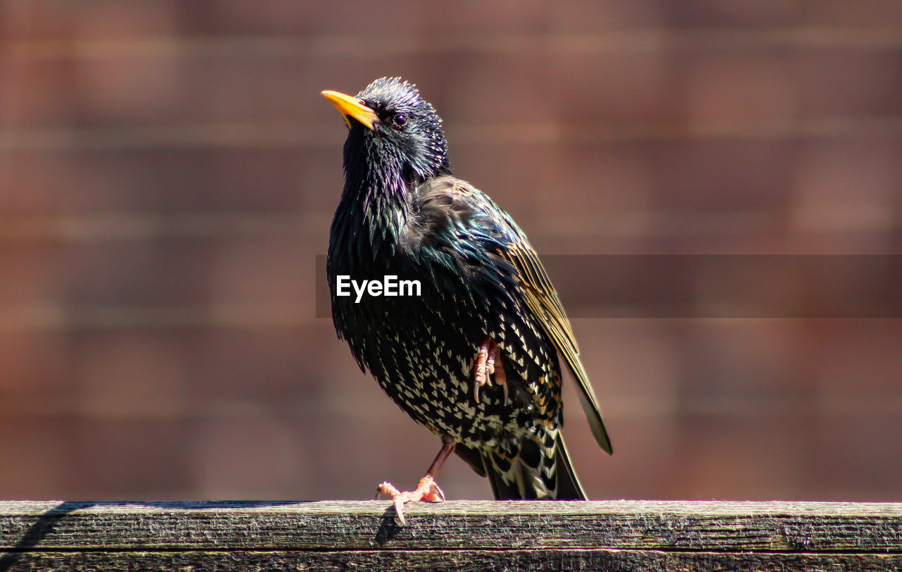 bird, animal themes, animal, animal wildlife, animals in the wild, vertebrate, one animal, perching, wood - material, focus on foreground, day, no people, close-up, railing, outdoors, full length, starling, nature, beak, looking away