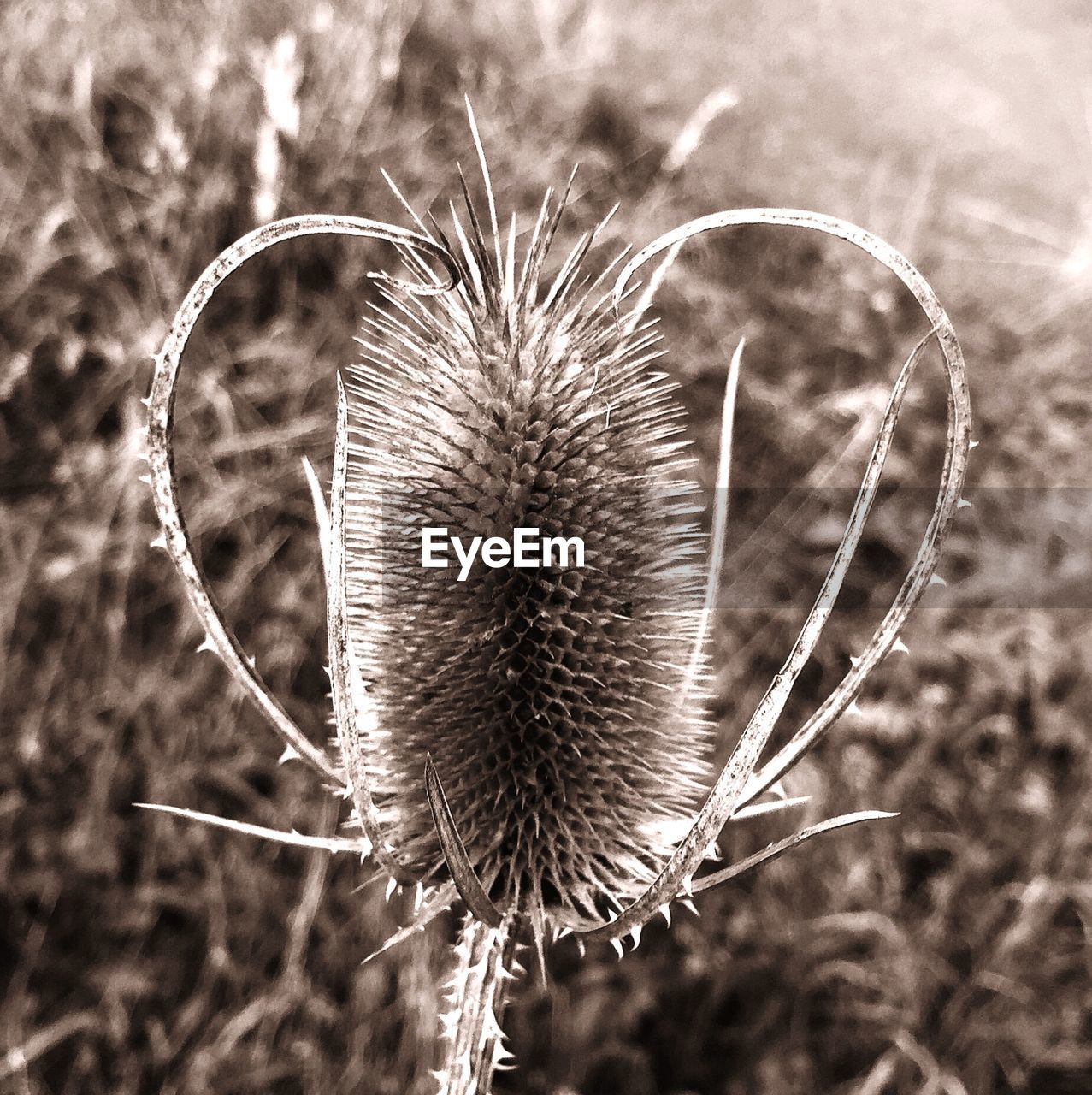nature, plant, growth, flower, focus on foreground, no people, beauty in nature, fragility, outdoors, close-up, seed, day, field, flower head, thistle, freshness, grass