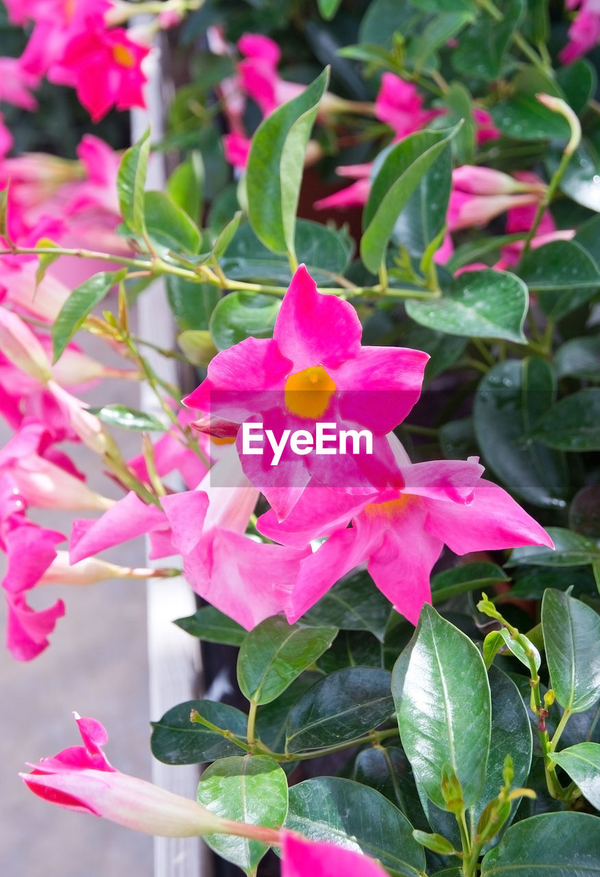 flower, petal, pink color, growth, beauty in nature, fragility, plant, flower head, leaf, nature, freshness, no people, blooming, outdoors, day, close-up, periwinkle