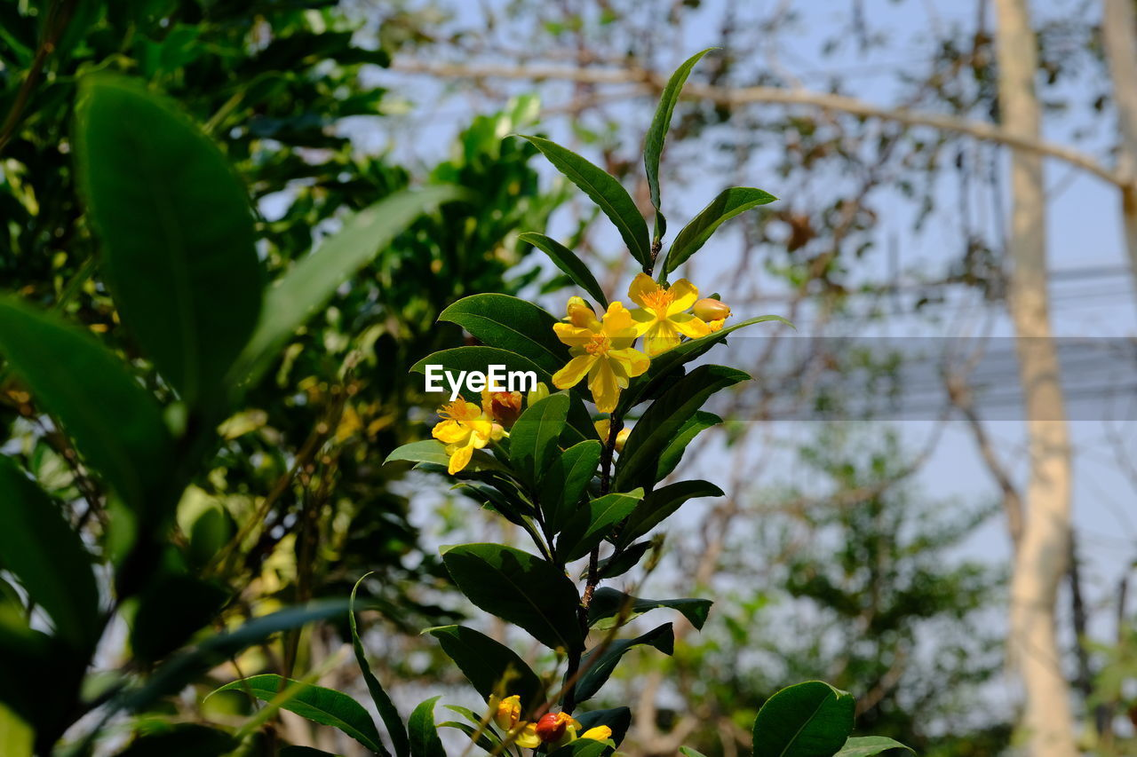 plant, growth, beauty in nature, flower, freshness, flowering plant, fragility, plant part, leaf, vulnerability, focus on foreground, yellow, close-up, nature, petal, flower head, day, inflorescence, green color, no people, outdoors