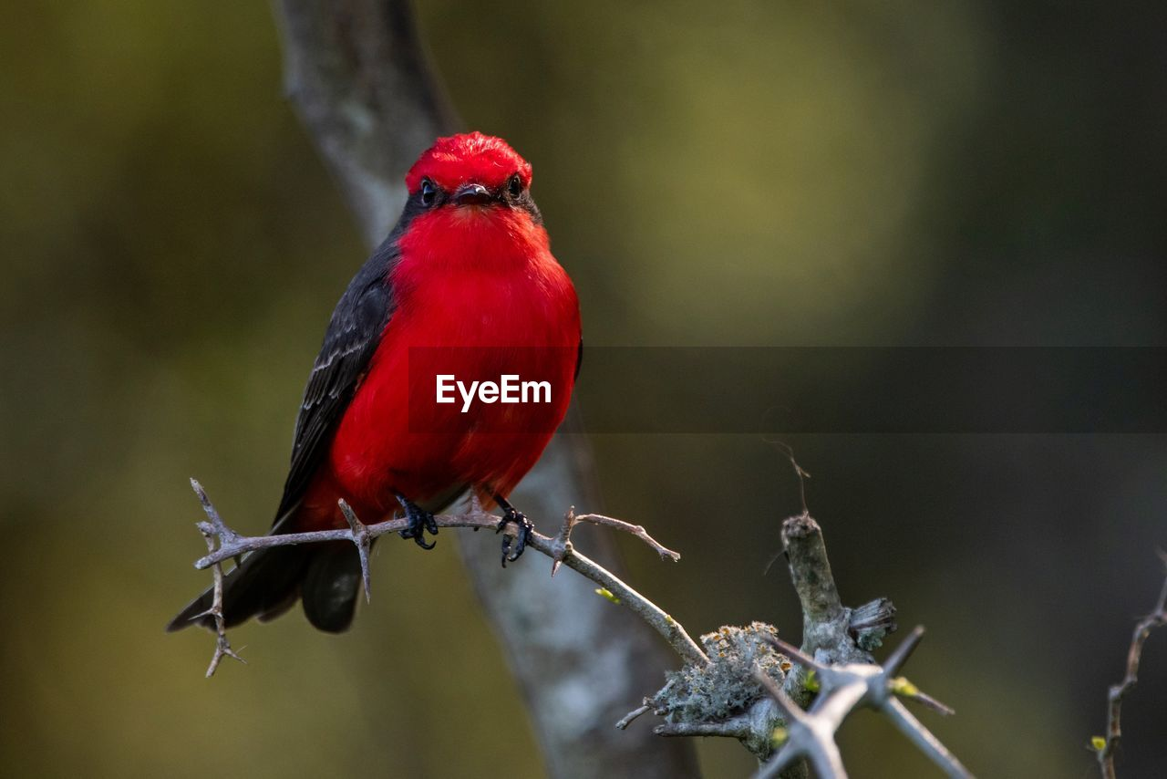 red, animals in the wild, animal, animal themes, bird, one animal, vertebrate, animal wildlife, perching, focus on foreground, day, no people, close-up, branch, plant, tree, nature, selective focus, cardinal - bird, outdoors