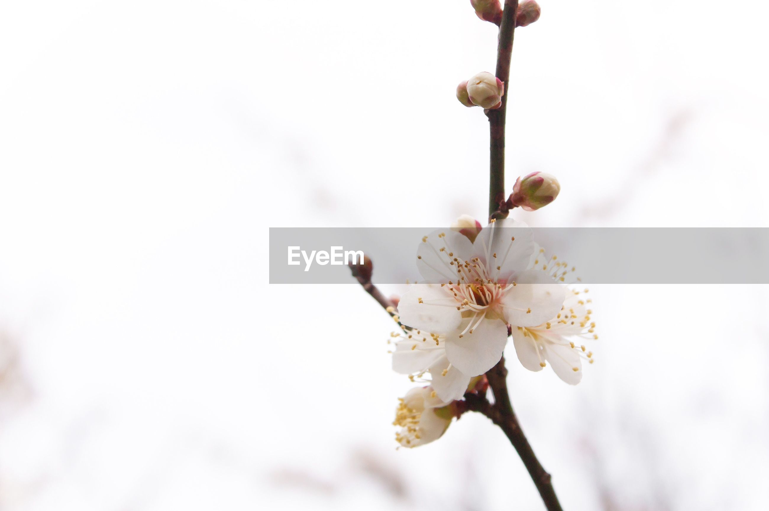 flower, freshness, fragility, growth, close-up, focus on foreground, beauty in nature, nature, branch, petal, flower head, twig, white color, stem, blossom, in bloom, tree, plant, springtime, blooming