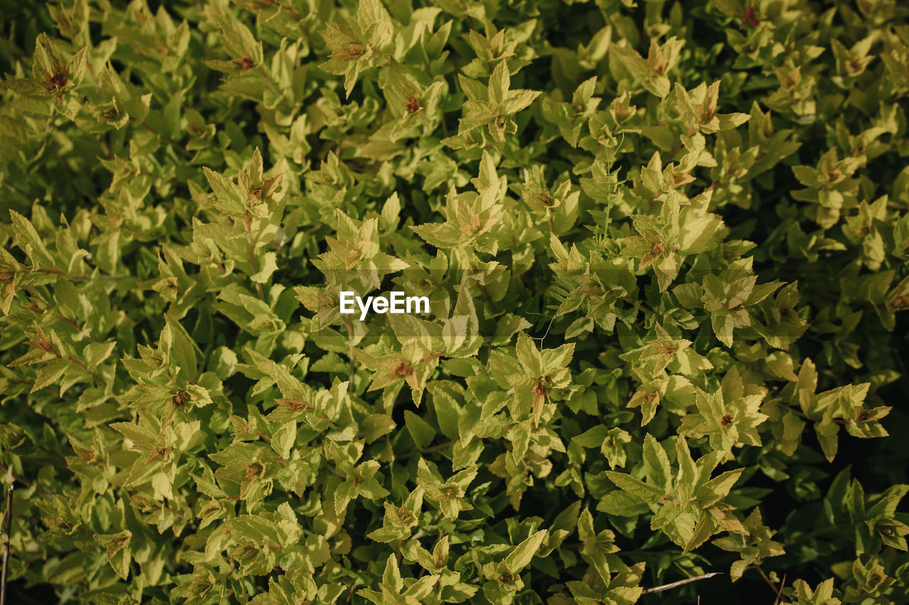 HIGH ANGLE VIEW OF FRESH GREEN LEAVES ON PLANT AT FIELD