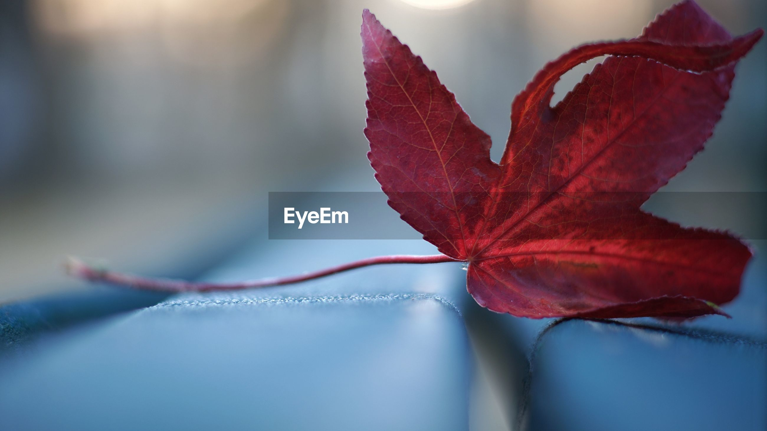 CLOSE-UP OF RED MAPLE LEAVES ON PLANT
