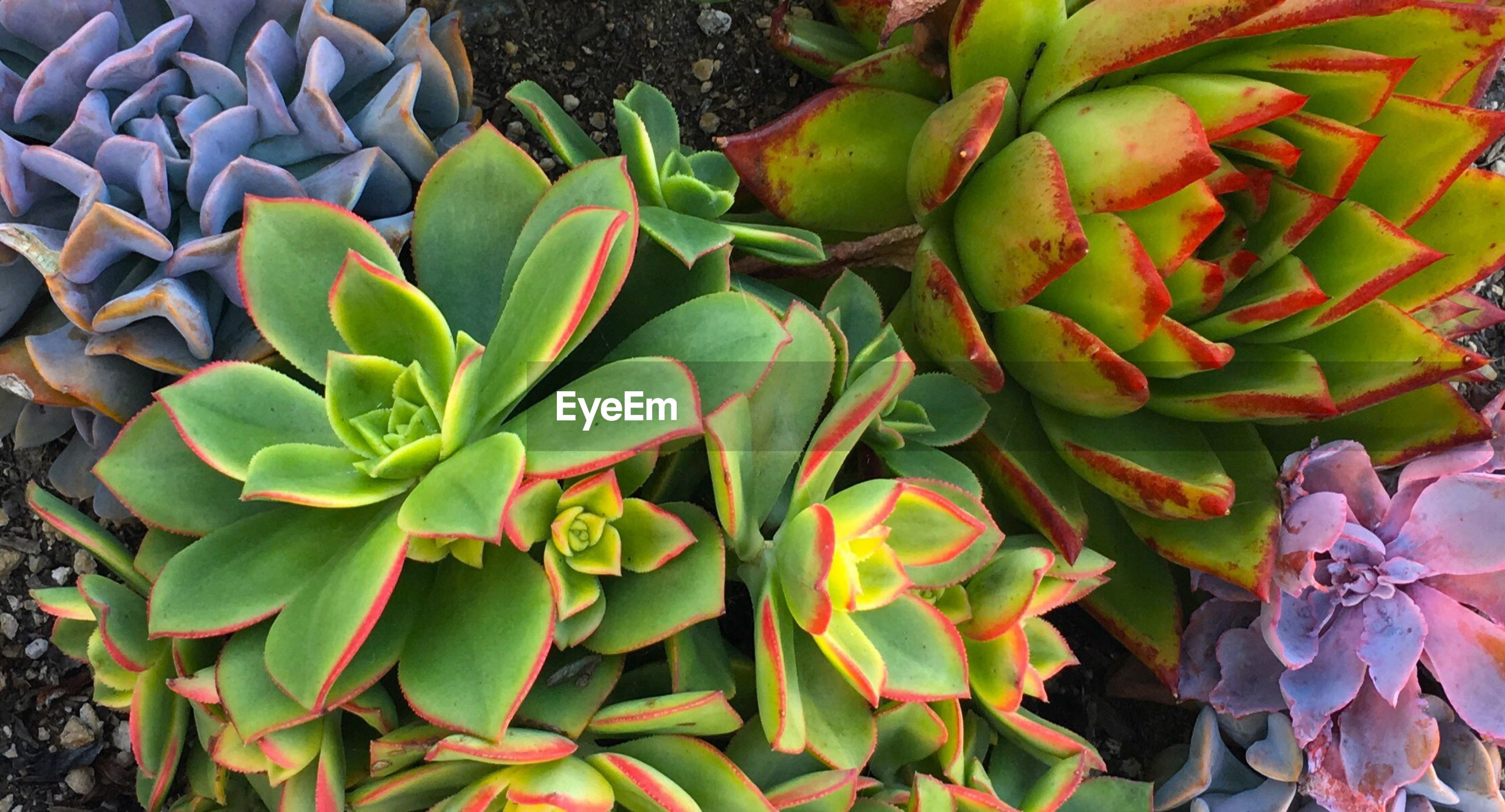 FULL FRAME SHOT OF SUCCULENT PLANT GROWING OUTDOORS