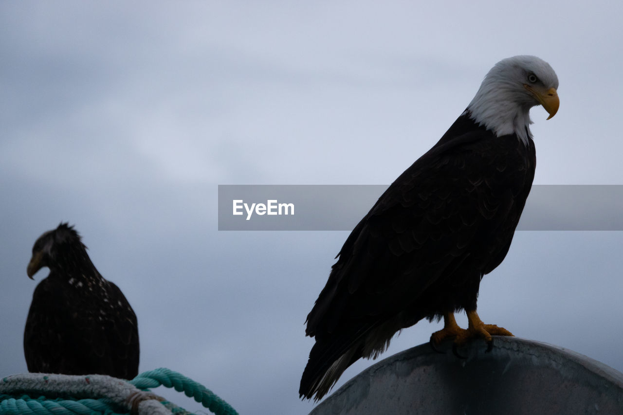 bird, animal themes, animal, vertebrate, animals in the wild, animal wildlife, perching, sky, no people, one animal, cloud - sky, nature, low angle view, day, eagle, black color, bird of prey, outdoors, mouth open