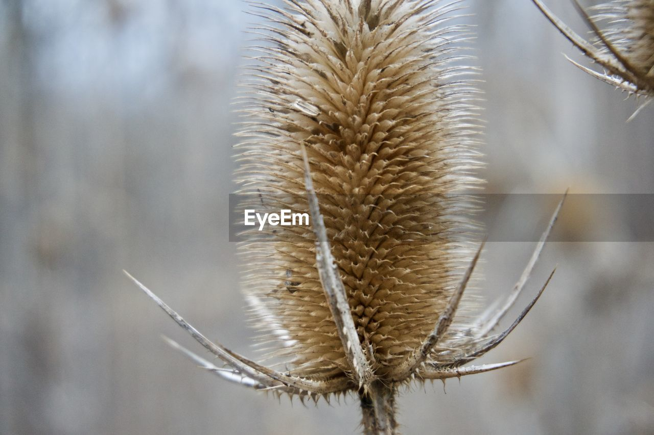 nature, close-up, no people, dried plant, day, plant, outdoors, beauty in nature