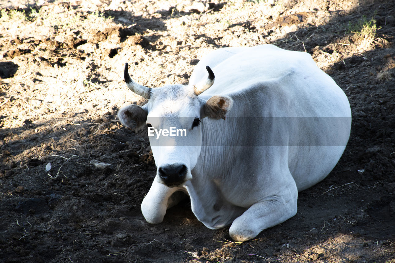 animal themes, mammal, animal, domestic animals, domestic, pets, livestock, one animal, vertebrate, land, no people, field, cattle, day, nature, white color, domestic cattle, cow, relaxation, standing, herbivorous