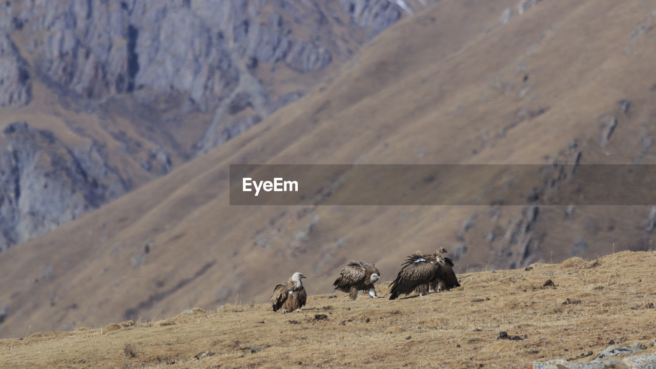 Vultures on mountain