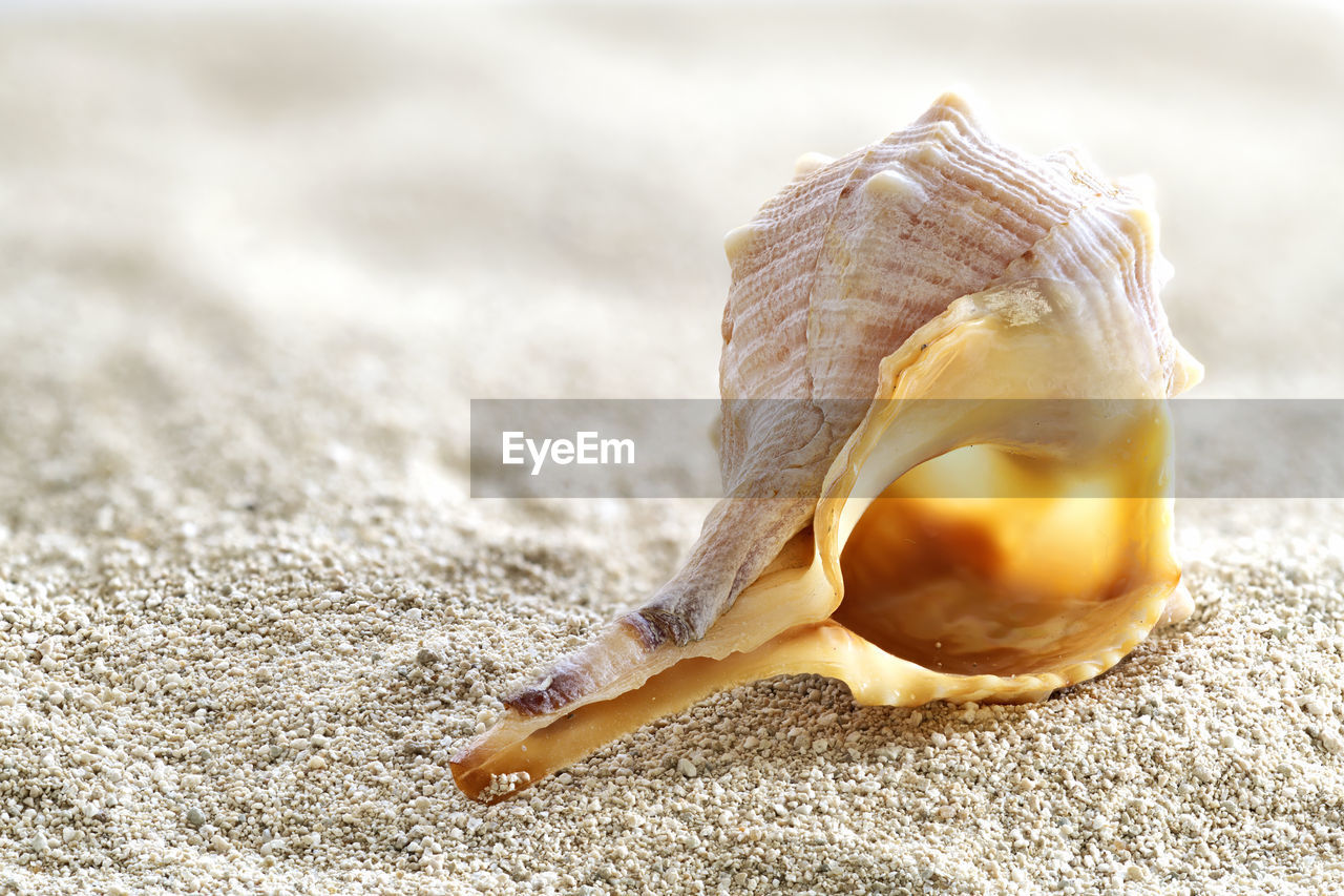 close-up, shell, animal shell, no people, animal wildlife, nature, seashell, land, day, still life, single object, animal, beauty in nature, food, one animal, outdoors, food and drink, animal themes, focus on foreground, beach