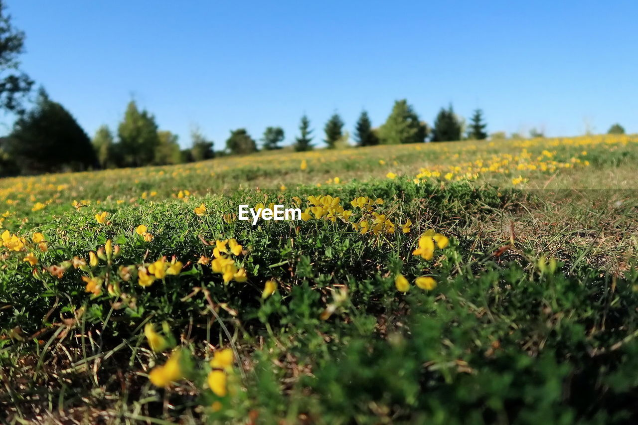yellow, flower, field, nature, growth, oilseed rape, beauty in nature, crop, selective focus, agriculture, plant, landscape, mustard plant, rural scene, no people, tranquility, fragility, tranquil scene, day, scenics, outdoors, clear sky, freshness, sky, close-up, flower head