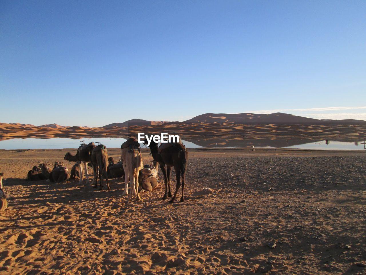 Camels On Desert Against Sky