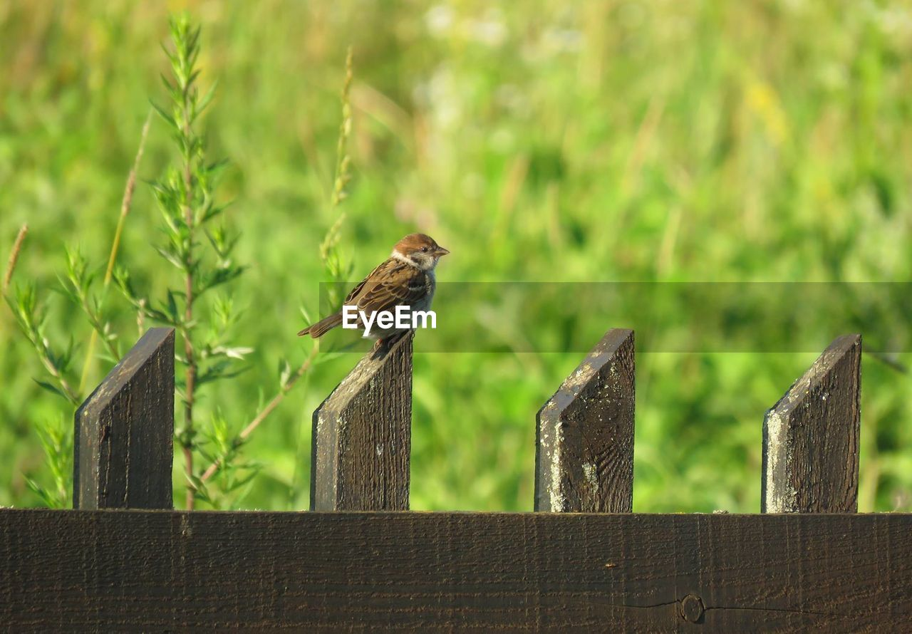 fence, boundary, animal, animal wildlife, wood - material, barrier, vertebrate, animal themes, animals in the wild, bird, one animal, perching, focus on foreground, day, no people, railing, nature, outdoors, protection, safety, wooden post