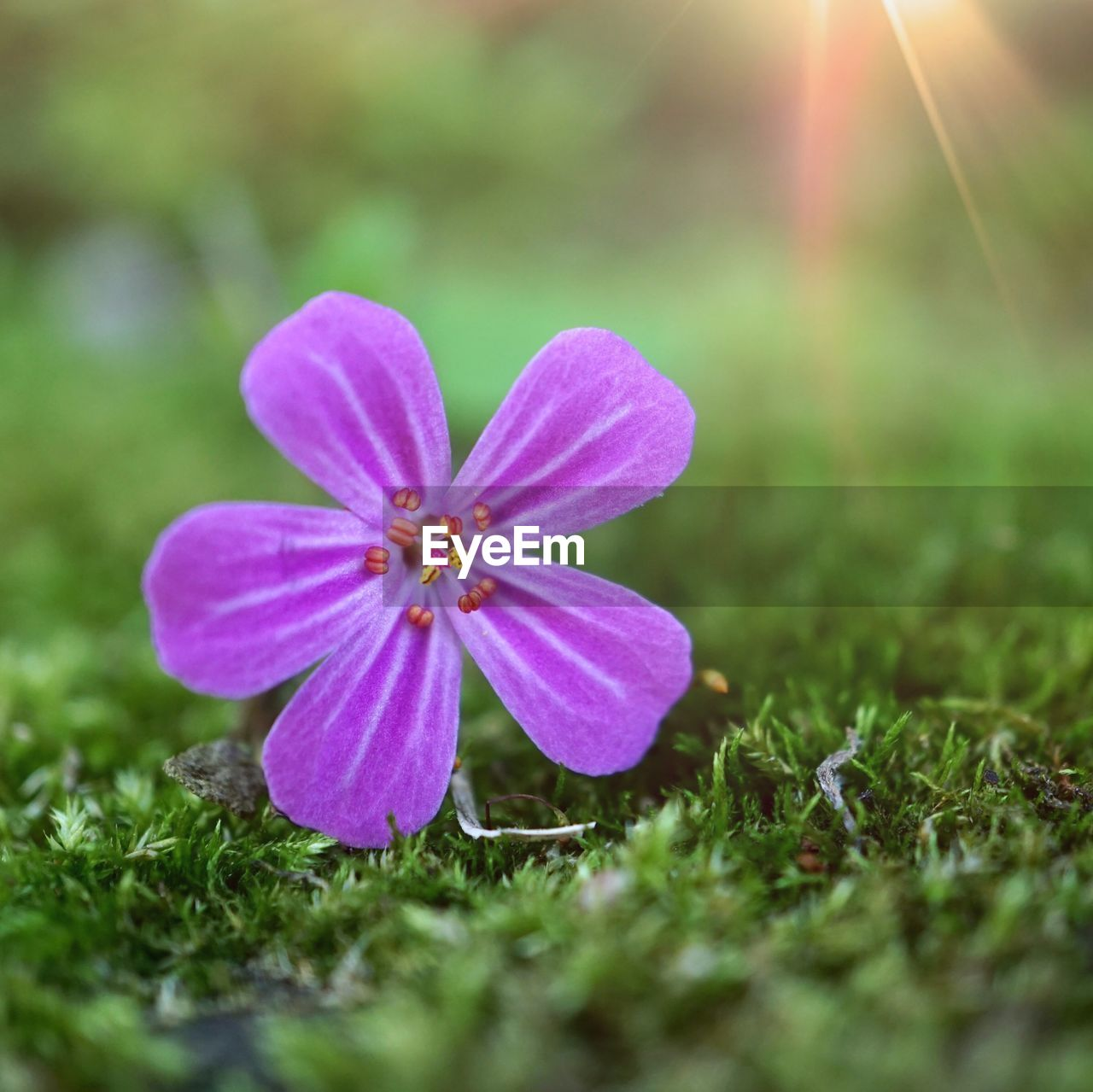 plant, flower, flowering plant, freshness, fragility, vulnerability, beauty in nature, petal, growth, flower head, selective focus, inflorescence, close-up, nature, land, field, grass, no people, day, purple, pollen, outdoors, iris, crocus
