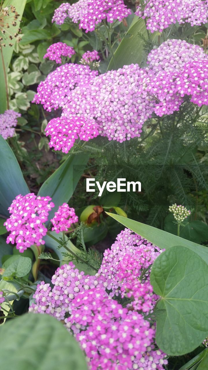 flowering plant, flower, vulnerability, plant, beauty in nature, fragility, freshness, pink color, growth, plant part, leaf, petal, nature, day, close-up, no people, flower head, lilac, inflorescence, green color, outdoors, purple, springtime, lantana, bunch of flowers
