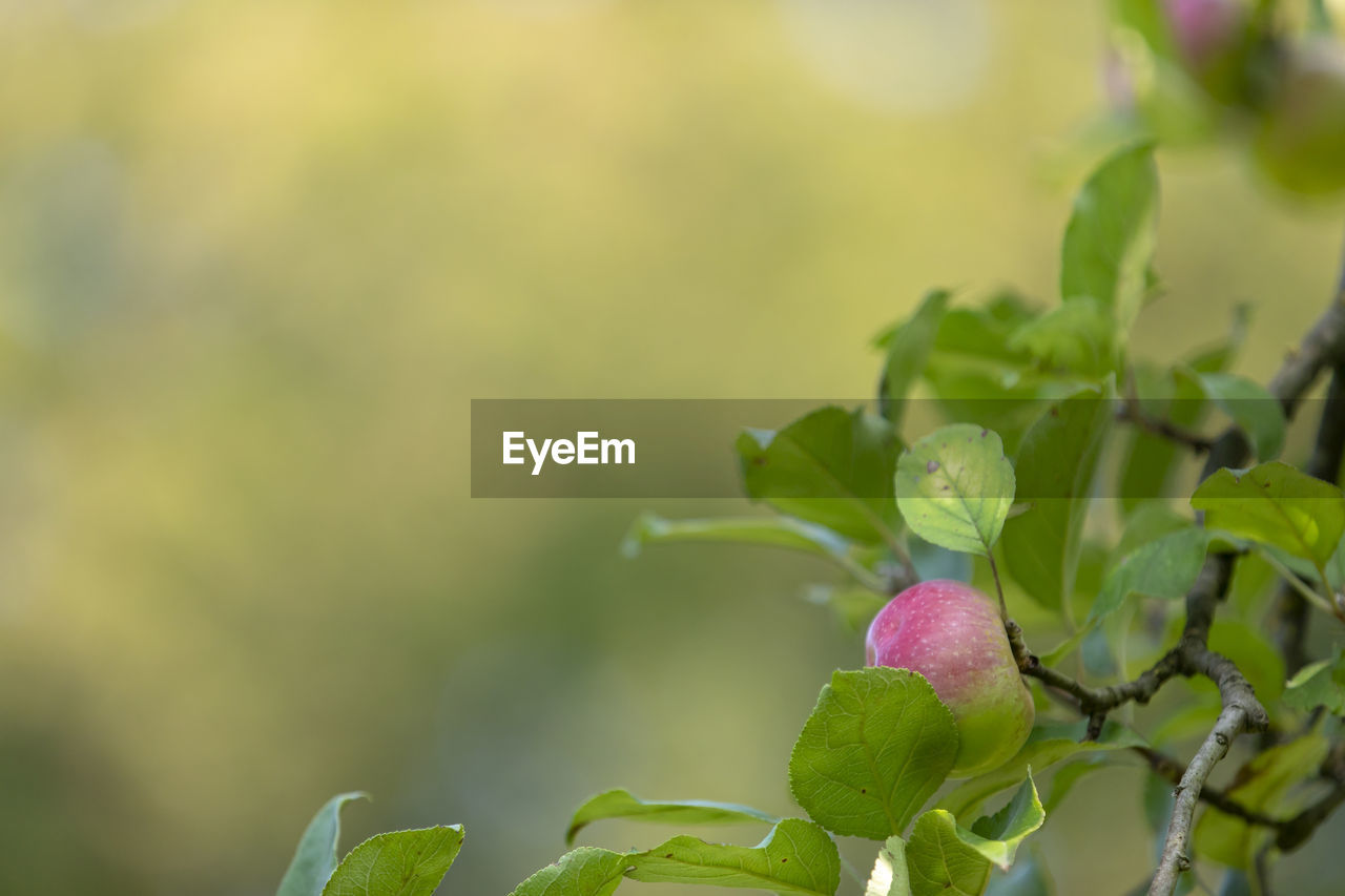 leaf, plant part, growth, plant, close-up, freshness, beauty in nature, green color, no people, nature, pink color, focus on foreground, flower, day, selective focus, fragility, vulnerability, outdoors, food, food and drink