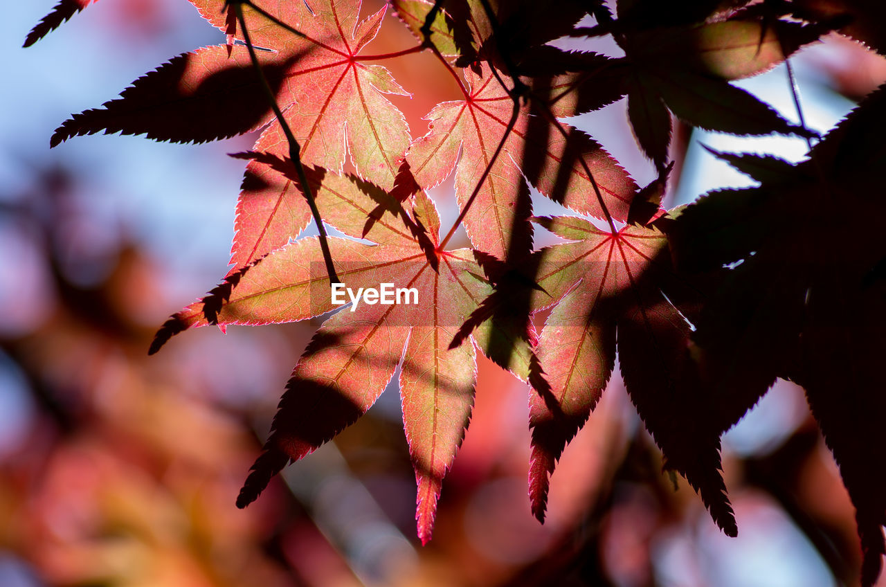 leaf, plant part, plant, autumn, close-up, beauty in nature, tree, growth, focus on foreground, no people, nature, change, day, vulnerability, fragility, leaves, selective focus, outdoors, branch, sunlight, maple leaf, natural condition