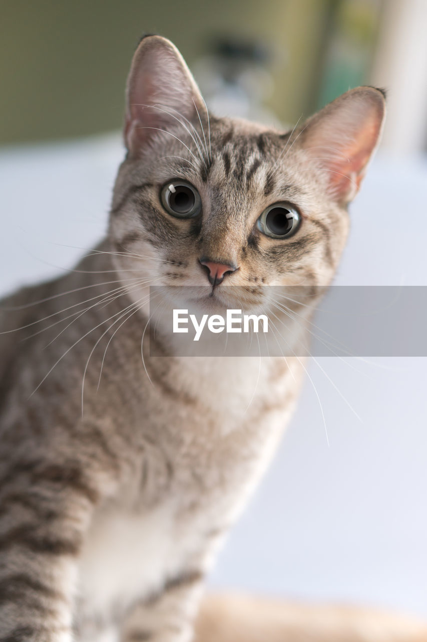 one animal, animal themes, domestic, cat, pets, animal, feline, domestic cat, domestic animals, mammal, vertebrate, whisker, looking at camera, portrait, close-up, looking, focus on foreground, no people, selective focus, animal body part, animal head, animal eye, tabby, yellow eyes