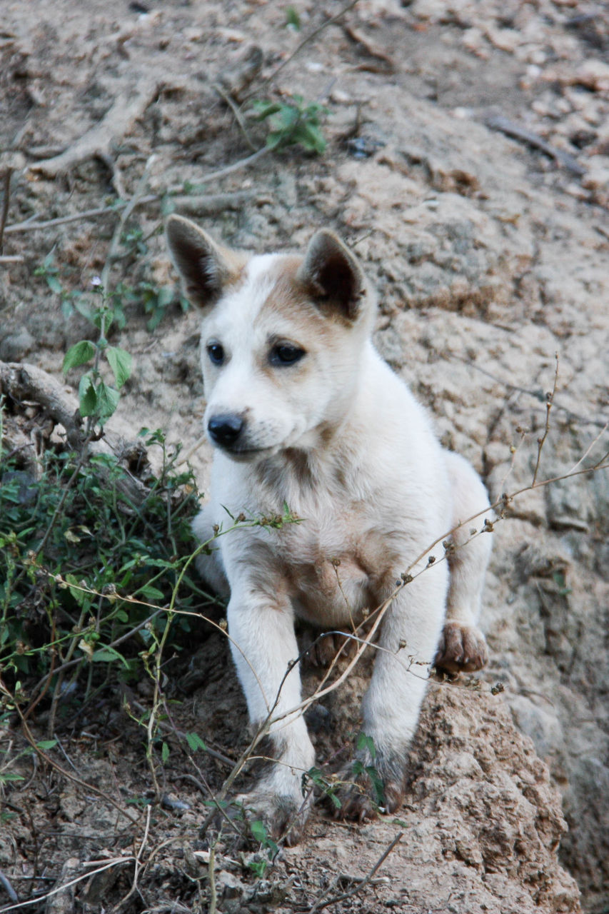 one animal, mammal, no people, animals in the wild, dog, canine, animal wildlife, looking, domestic, domestic animals, land, day, pets, vertebrate, nature, looking away, white color