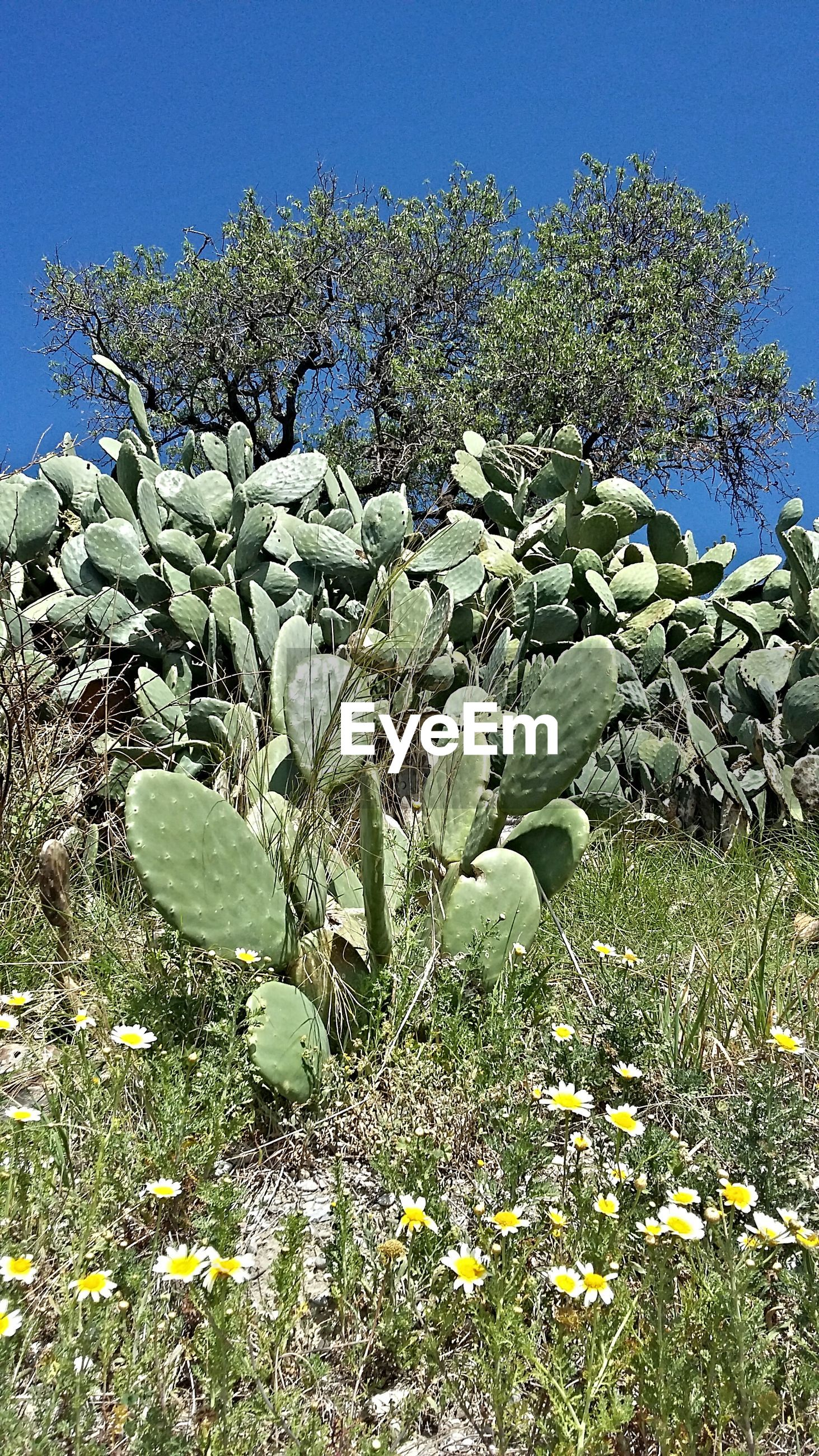 Low angle view of cactus plants against blue sky