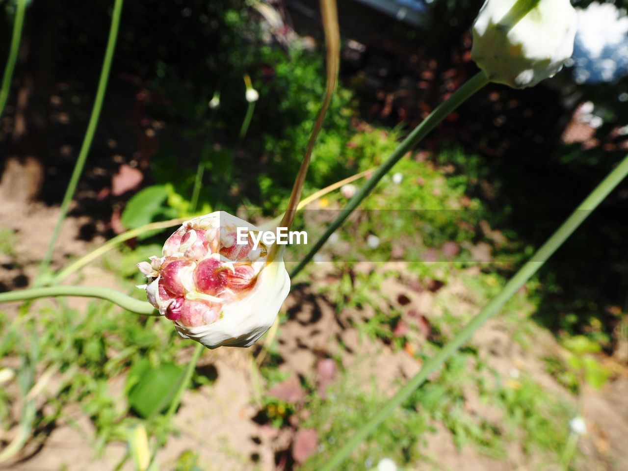 flower, nature, fragility, petal, rose - flower, freshness, plant, growth, beauty in nature, flower head, outdoors, no people, day, close-up, blooming
