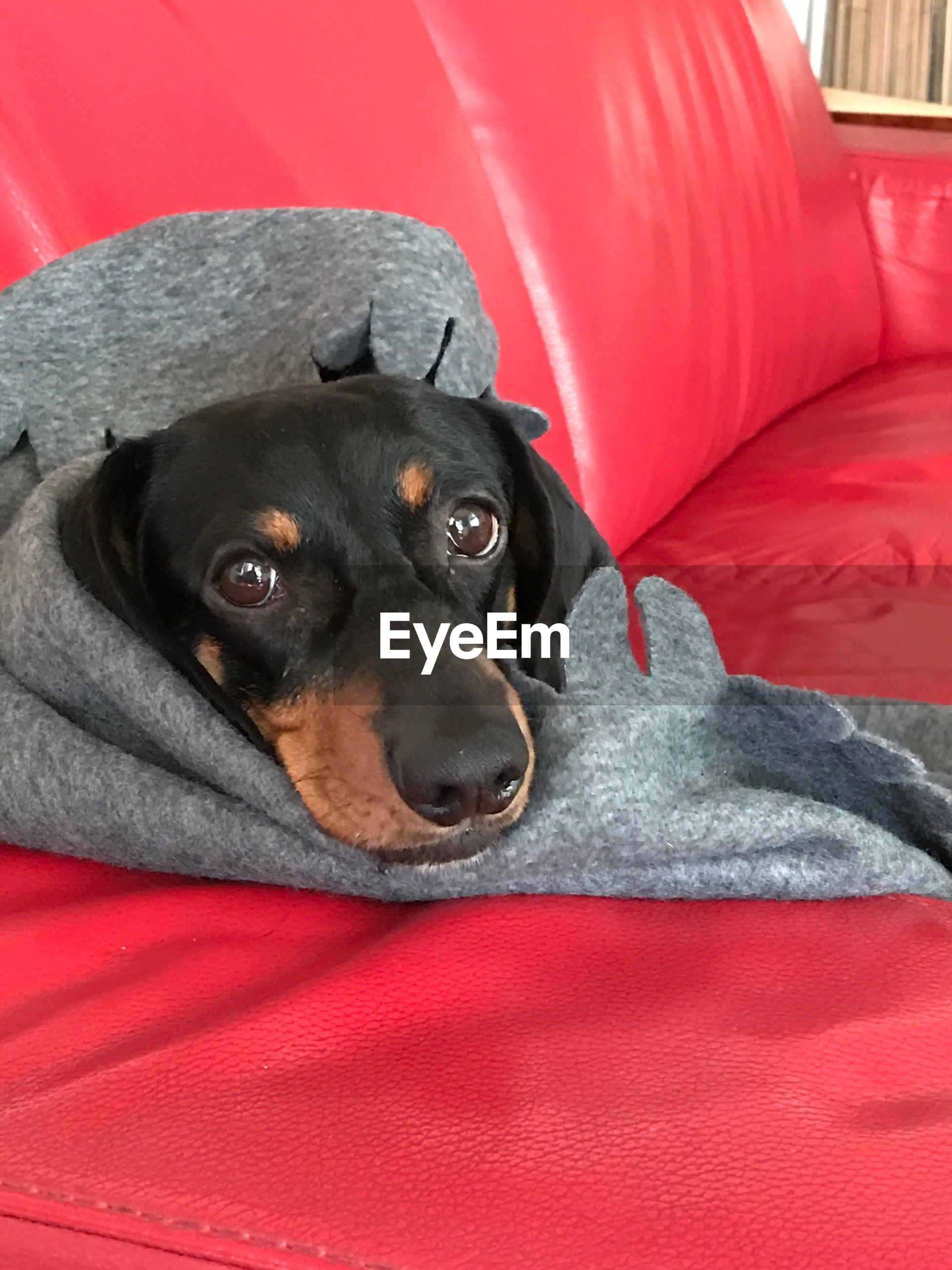 Close-up portrait of black dog with clothing on sofa
