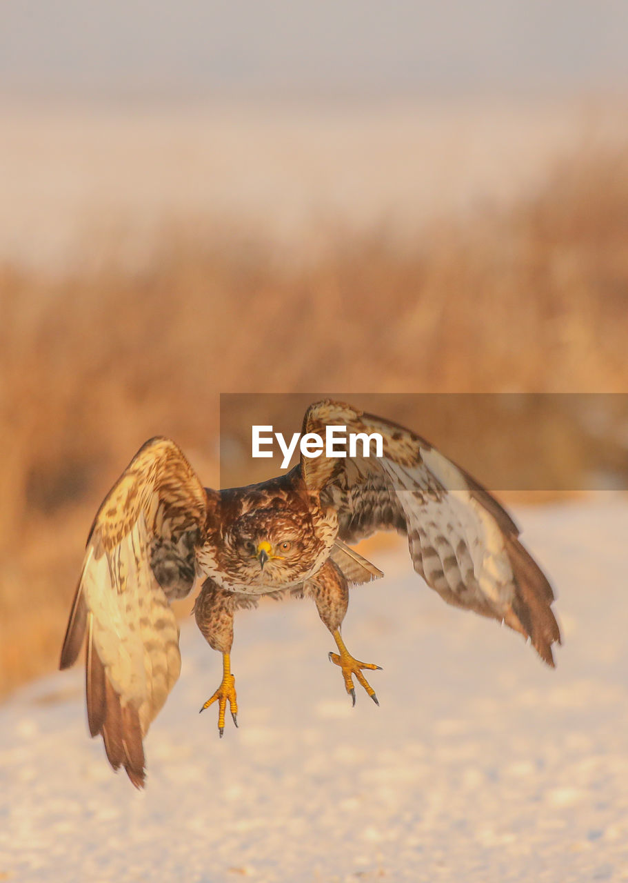 Close-up of eagle flying over snow field