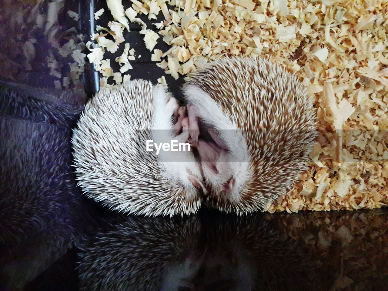 Pair of hedgehogs sleeping