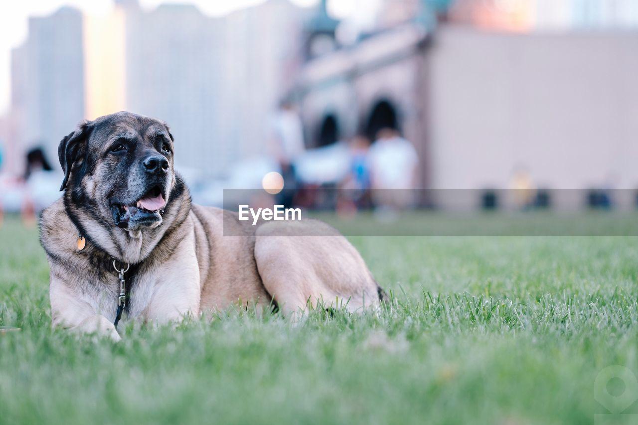 Close-Up Of A Dog On Grassland